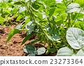 crop, edamame, field 23273364
