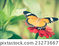 Monarch Butterfly feeding syrup on zinnia flower 23273667