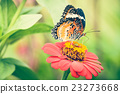 Monarch Butterfly feeding syrup on zinnia flower 23273668