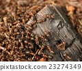 Wood in middle of wild ants build their anthill.  23274349