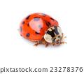 ladybug 23278376