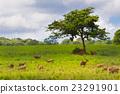 Group of wild hog deer in forest 23291901