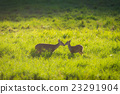 Wild mother and child hog deer on grassland 23291904