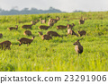 Group of wild hog deer in forest 23291906