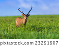Male hog deer stand alone on grassland 23291907