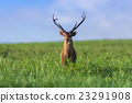 Male hog deer stand alone on grassland 23291908