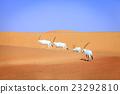 Arabian Oryx 23292810