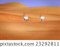 Arabian Oryx 23292811
