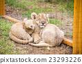 富士公園 獅子 百獸之王 23293226