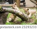 fuji safari park, baby, king of beasts 23293233