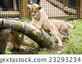 fuji safari park, baby, king of beasts 23293234