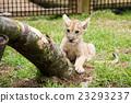 fuji safari park, baby, king of beasts 23293237