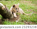 fuji safari park, baby, king of beasts 23293238