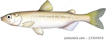 柳葉魚 小魚 矢量 23304959