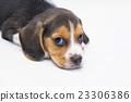 puppy dog - beagle 23306386