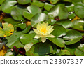 botanical, water lily, water-lily 23307327
