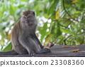 帕姆島的Taman Negara國家公園猴子在猴子見面 23308360