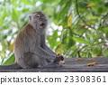 帕姆島的Taman Negara國家公園猴子在猴子見面 23308361