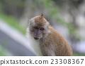檳城島檳城山的小猴子 23308367