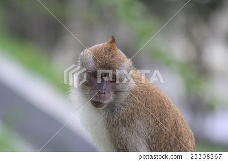 Penang Island Penang Hill's little monkey 23308367