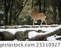 奈良公園 鹿 積雪 23310927