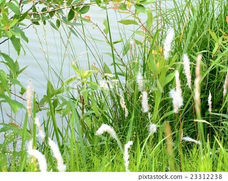 물가의 잡초 23312238
