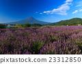 富士山 熏衣草 大石公園 23312850