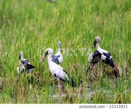 Asian Open-billed stork 23313851