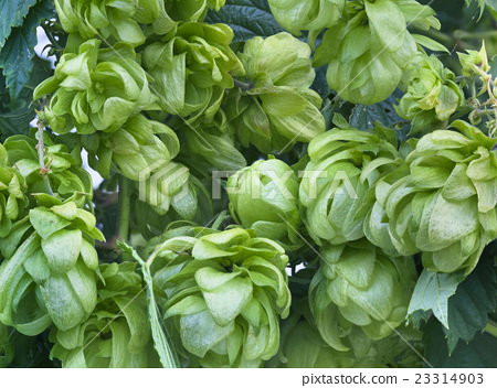 Wild Hop Plant Background 23314903