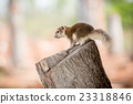 Red Squirrel Sitting on Stump 23318846