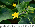 cucumber, cucumbers, bloom 23319335