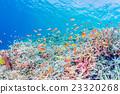 珊瑚 水中 在水中 23320268