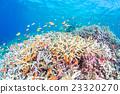 珊瑚 水中 在水中 23320270