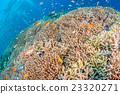 珊瑚 水中 在水中 23320271