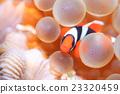小丑魚 番茄海葵魚 海葵 23320459