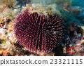 sea urchin underwater close up macro detail 23321115
