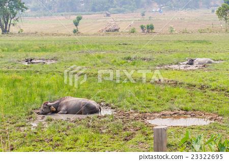 buffalo in grass field in Thailand 23322695