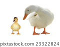 ducks 23322824