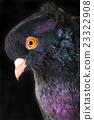 black pigeon 23322908