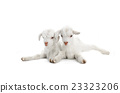 two goat 23323206