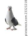 white pigeon 23323218