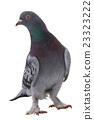 white pigeon 23323222
