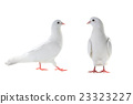 two white pigeon 23323227