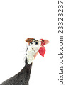 fowl, bird, poultry 23323237