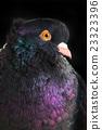 black pigeon 23323396