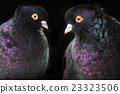 two black pigeon 23323506