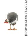 Guinea fowl 23323512