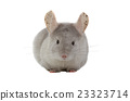 chinchilla 23323714