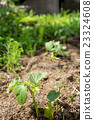 秋葵 下種 播種 23324608