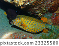 魚 水下 黄楊木 23325580